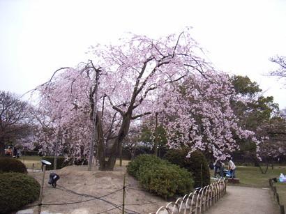 枝垂桜@栗林公園