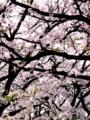 [桜][夕陽][日差し]