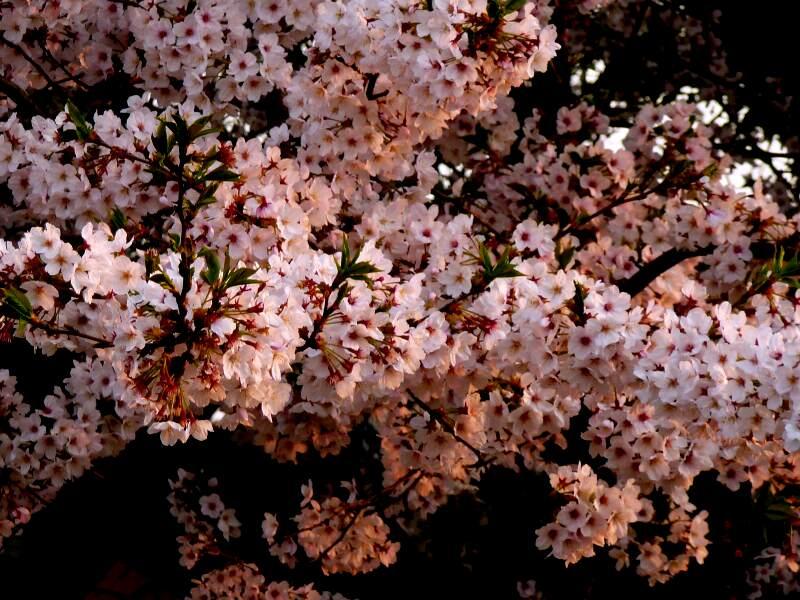 [花][夕陽]