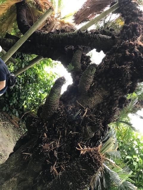 ソテツの老木