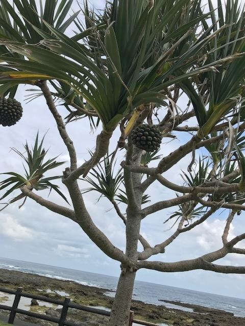 大きな松ぼっくりのようなものがついた謎の植物