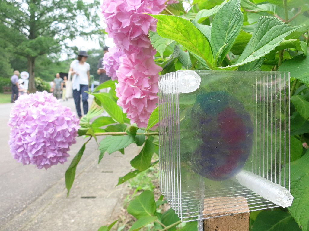子供に人気の団子虫フィギュアと綺麗な花のアジサイ祭りにお出かけ