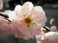 2011/03/30/ウメ2