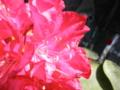 2011/05/08/西洋シャクナゲ「火祭」2