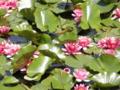 2011/05/15/スイレン1
