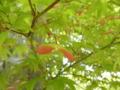 2011/05/15/カエデ3