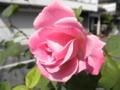 2011/05/20/バラ2