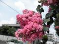 2011/08/11/サルスベリ