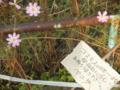 2011/10/26/コスモス