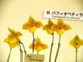 パフィオペディラム9「Paph. Norito Hasegawa」