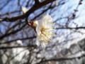 2012/03/14/ウメ1