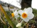 2012/03/14/ニホンズイセン