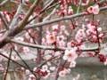 2012/03/14/ウメ2