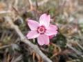 2012/03/14/シバザクラ
