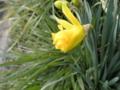 2012/03/14/スイセン