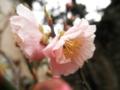 2012/03/28/ウメ