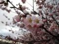 2012/03/31/サクラ1