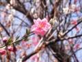 2012/04/02/ウメ1