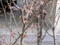 2012/04/02/エドヒガンザクラ