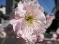 2012/04/04/ウメ3