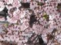 2012/04/15/ヒヨドリ