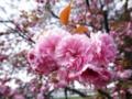 2012/04/24/ヤエザクラ1