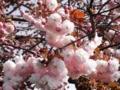 2012/04/24/ヤエザクラ2