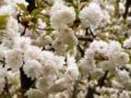 2012/04/25/サクラ「三ヶ日桜」