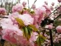 2012/04/25/サクラ「渦桜」