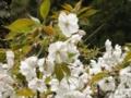 2012/04/25/サクラ「永源寺」