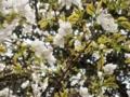 2012/04/25/サクラ「帆立」
