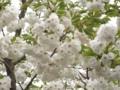 2012/04/25/サクラ「白妙」