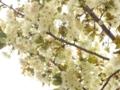 2012/04/25/サクラ「鬱金」