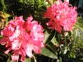 2012/05/11/西洋シャクナゲ「火祭」1