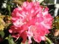 2012/05/11/西洋シャクナゲ「火祭」2