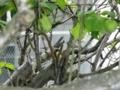 2012/05/24/シジュウカラ1
