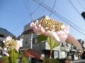 2012/06/04/ヤマアジサイ「清澄沢」