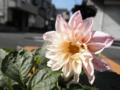 2012/06/26/ダリア「フィガロ」