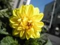 2012/07/04/ダリア「フィガロ」