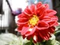 2012/07/18/ダリア「フィガロ」
