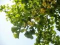 2012/07/23/ギンナン