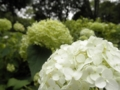 2012/07/23/アジサイ「アナベル」2