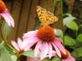 2012/07/23/エキナセア&チョウ
