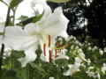 2012/07/23/ユリ「カサブランカ」