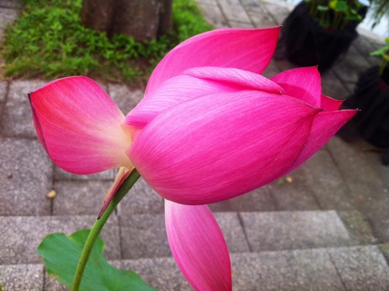 2012/07/23/ハス「紅領巾」