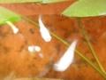 2012/08/01/メダカ1