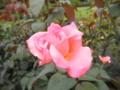 2012/09/15/バラ「ニュージーランド」