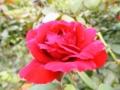 2012/09/15/バラ「ロミオ」