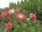 2012/09/15/バラ「モーツァルト」