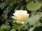 2012/09/15/バラ「クリーム デライト」